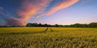 Problem głowni pylącej na Twojej uprawie